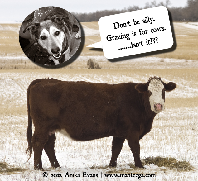 "Dog or Cow? (Image: ""Don't be silly. Grazing is for cows. Isn't it???)"