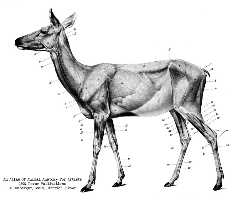 "Terminology: The Prey Model (image: deer from ""An Atlas Of Animal Anatomy For Artists, 1956)"